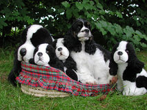 Finding Fido. American Cocker Spaniel in a basket with stuffed animal look a likes stock photos