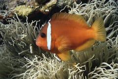 Finding Nemo. Anemone clownfish Royalty Free Stock Photo