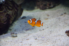 Finding Nemo. A clown fish swimming in the water Stock Photos