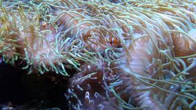Finding Nemo. Clownfish in aquarium stock images