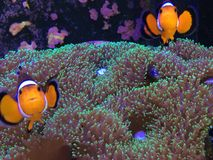 Finding Nemo on a Real Fish Tank Royalty Free Stock Photo