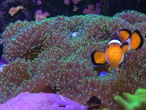 Finding Nemo on a Real Fish Tank Playing on a Mushroom Coral Stock Photos