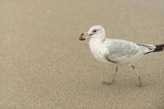 A seagull walks after finding some dinner Royalty Free Stock Photography