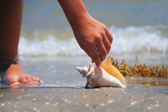 Finding Treasure. A conch shell lying on a tropical beach is found by an ocean treasure hunter stock images