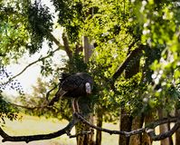 Finding your holiday turkey in a tree. Holiday turkeys can be bought or you can get your own wild turkey like this turkey caught perched in a tree on the edge of Royalty Free Stock Image