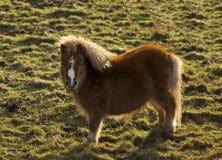 Findochty Shetland ponny i ett fält. Arkivfoto