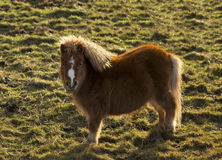 Findochty Shetland pony in a field. Stock Photo