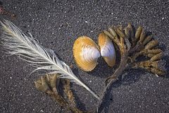 Finds on the beach of Iceland, seaweed, bird feather and shell Royalty Free Stock Images