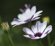 Fine adorabile sull'immagine del fiore bianco della margherita del capo Fotografia Stock
