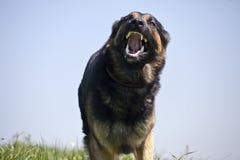 Fine aggressiva di funzionamento del cane con la bocca aperta Fotografie Stock