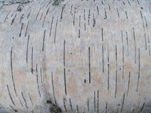 Fine all'aperto della fotografia della natura dell'albero di betulla della corteccia su Immagine Stock