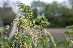 Fine all'aperto sana di macro della Germania dei prodotti del ribes bianco della pianta del ribes cortile organico rosso crudo no Fotografia Stock