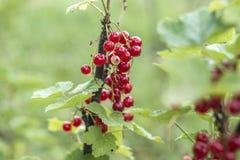 Fine all'aperto sana di macro della Germania dei prodotti del ribes della pianta di bacche cortile organico maturo della frutta d Fotografia Stock Libera da Diritti