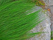 Fine alpina della vegetazione della montagna sulle strutture e sull'erba di pinus mugo della pianta del fondo Immagine Stock Libera da Diritti