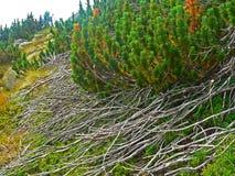 Fine alpina della vegetazione della montagna sulle strutture e sull'erba di pinus mugo della pianta del fondo Immagini Stock