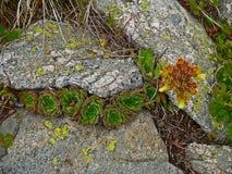 Fine alpina della vegetazione della montagna sulle strutture e sull'erba di pinus mugo della pianta del fondo Fotografia Stock Libera da Diritti