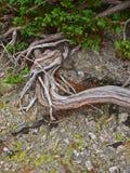 Fine alpina della vegetazione della montagna sulle strutture e sull'erba di pinus mugo della pianta del fondo Fotografia Stock