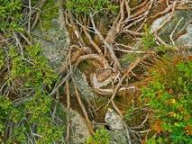 Fine alpina della vegetazione della montagna sulle strutture e sull'erba di pinus mugo della pianta del fondo Fotografie Stock Libere da Diritti