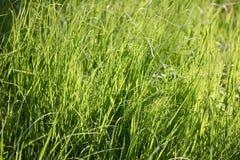 Fine alta dell'erba verde su fondo Fotografie Stock