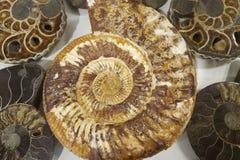 Fine antica fossile di struttura delle coperture dell'ammonite su fotografia stock