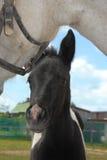 Fine appena nata curiosa del foal in su Fotografie Stock Libere da Diritti