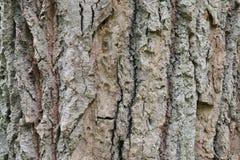 Fine approssimativa della corteccia di albero sul giorno di estate nella foresta fotografie stock libere da diritti