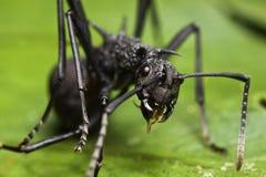 Fine appuntita nera della formica in su Immagini Stock Libere da Diritti