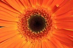 Fine arancio luminosa di macro della gerbera su Fotografia Stock Libera da Diritti