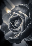 Fine art B&W of rose. A fine art black and white image of a water drop covered rose Stock Photo