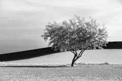 Fine art B&W of tree in desert. Royalty Free Stock Photography