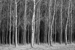 Fine art B&W of trees. A fine art black and white image of a bunch of trees Royalty Free Stock Photo