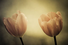 Fine art of close-up Tulips, blurred and sharp Stock Photos