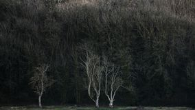 Fine art landscape image of stark white trees in woodland backgr. Fine art landscape image of stark white trees in dark woodland background Stock Image