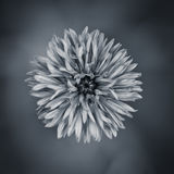 Fine art romantic flower. In black and white Royalty Free Stock Image