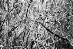 Fine asciutta del pascolo su in bianco e nero con le foglie lunghe Fotografie Stock