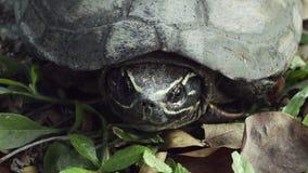 Fine asiatica della tartaruga sul video archivi video