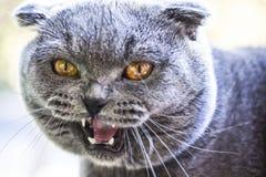 Fine attraente di grido del gatto del popolare dello Scottish del fronte immagine stock