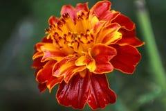 Fine bagnata del fiore sulla macro foto immagine stock libera da diritti