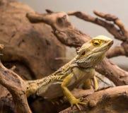 Fine barbuta del drago in su fotografie stock libere da diritti