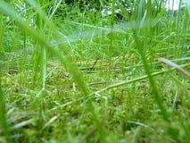 Fine bassa sul macro dettaglio di erba verde e di muschio Fotografia Stock