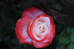 Fine, beautiful,  gentle rose Stock Images