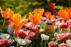 Fine bella sul colpo dei fiori che fioriscono un giorno di molla soleggiato immagine stock libera da diritti
