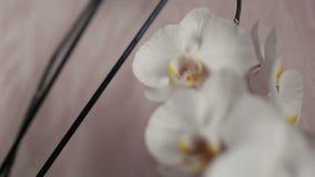 Fine bianca del capolino dell'orchidea su isolata su fondo bianco stock footage