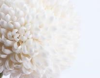 Fine bianca del crisantemo su Immagini Stock