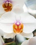 Fine bianca del fiore dell'orchidea in su Immagine Stock