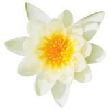 Fine bianca del fiore della ninfea su isolata Immagine Stock