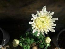 Fine bianca del fiore di Crysanthemum su Fotografia Stock