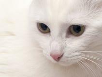 Fine bianca del gatto su Immagine Stock
