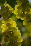 Fine bianca dell'acino d'uva Immagine Stock Libera da Diritti