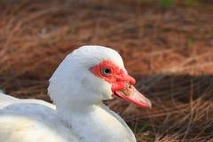 Fine bianca dell'anatra su sull'azienda agricola rurale Fotografie Stock